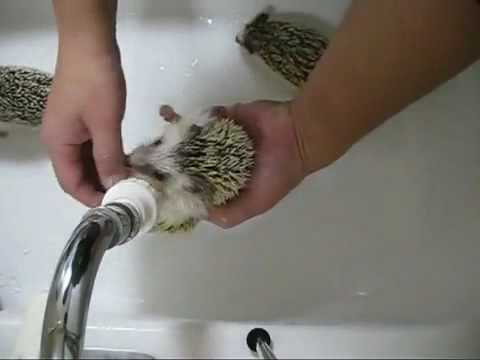 ��� ��������� ������ ������? | How to wash hedgehogs?